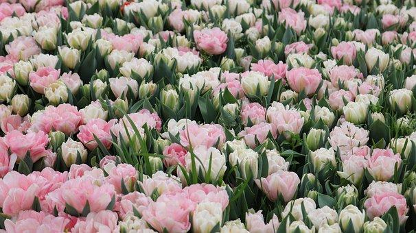 Flower, Plant, Nature, Tulip, Garden, Leaves, Color