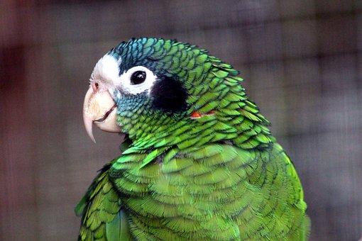 Chernouhie Amazon, Amazona Ventralis, Parrot, Bird