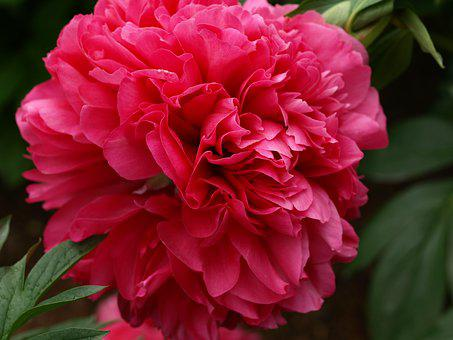 Flower, Nature, Flora, Leaf, Garden, Peony, Plant