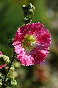 Nature, Plant, Garden, Summer, Sheet, Hollyhock, Pink