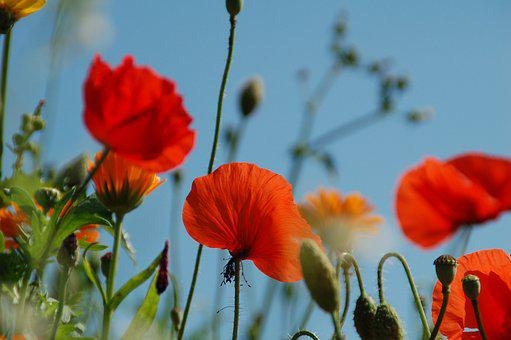 Poppy, Nature, Plant, Summer, Field