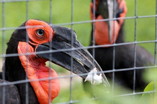 Kaffir Horned Raven, Bucorvus Leadbeateri, Raven, Bird