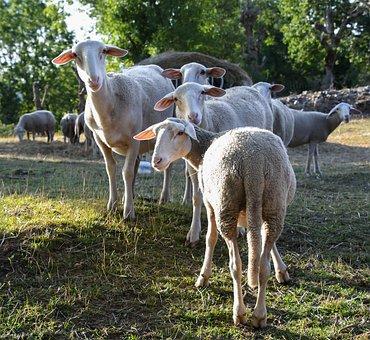 Sheep, Curious, Rural, Animal, Field