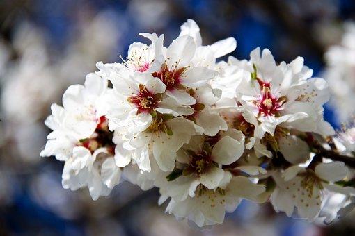 Flower, Season, Nature, Cherry, Plant, Spring, Branch