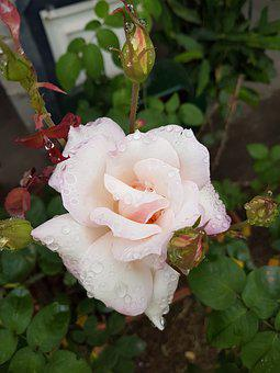 Flower, Rosa, White Rose, Rose With Dew, Nature, Leaf