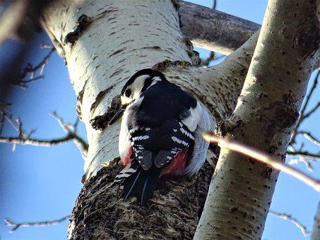 Great Spotted Woodpecker, Tree, Nature, Bird, Wood