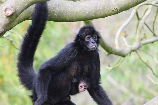 Monkey, Primate, Mammal, Animal World, Cute, Animal
