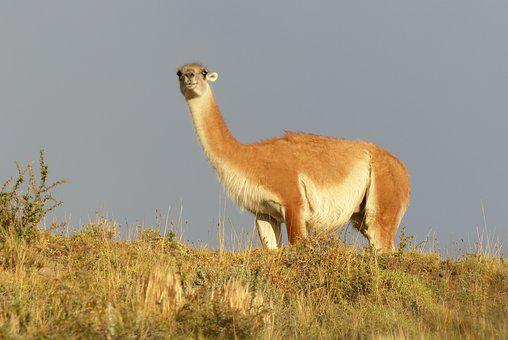 Animal World, Mammal, Animal, Nature, Grass, Guanaco