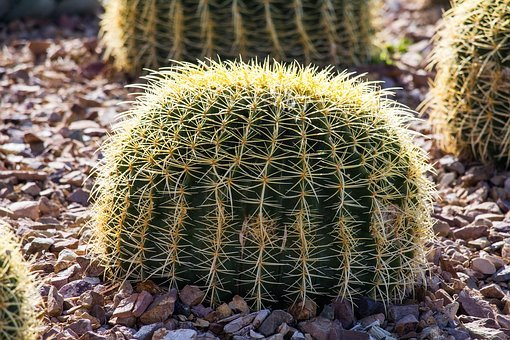 Cactus, Spine, Sharp, Nature, Desert