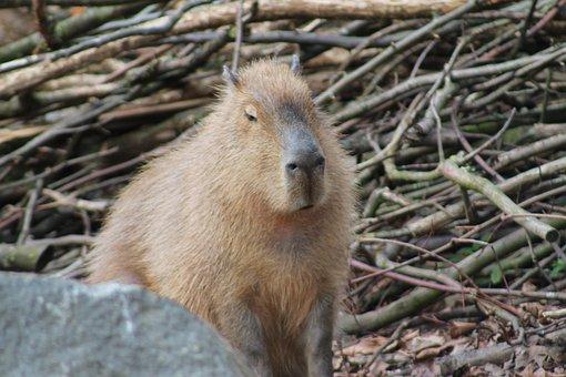 Nature, Capybara, Mammal, Animal, Animal World, Cute