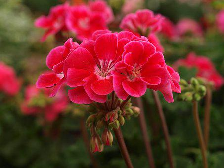Flower, Garden, Flora, Nature, Blooming, Geranium