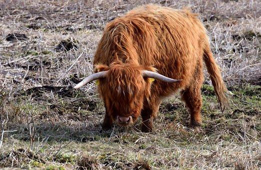 Beef, Highland Beef, Galloway, Shaggy, Standing, Threat
