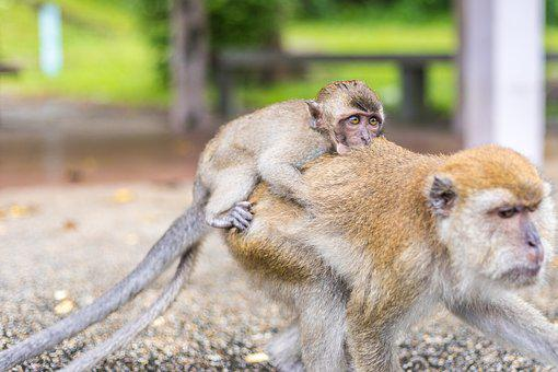 Macaque Monkeys, Ape, Thailand, Temple, Baby Monkey
