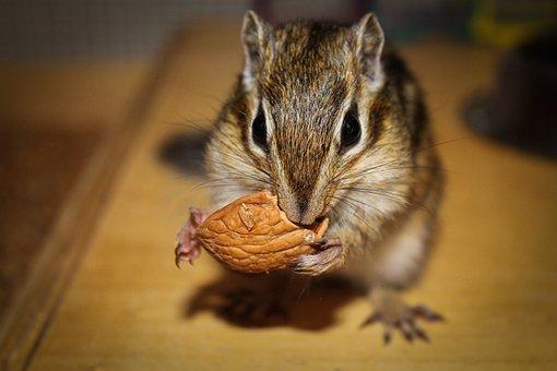 Mammalia, Rodent, Small, Nice, Wild Life, Animalia