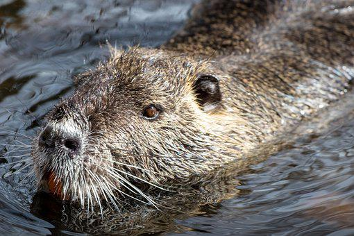 Animal World, Mammal, Nature, Waters, Animal, Nutria