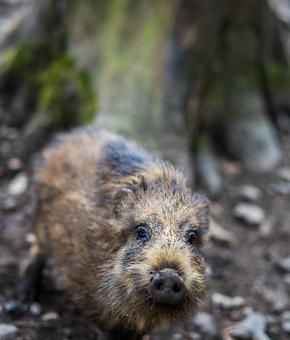 Mammal, Animal World, Nature, Animal, Cute, Pig, Piglet