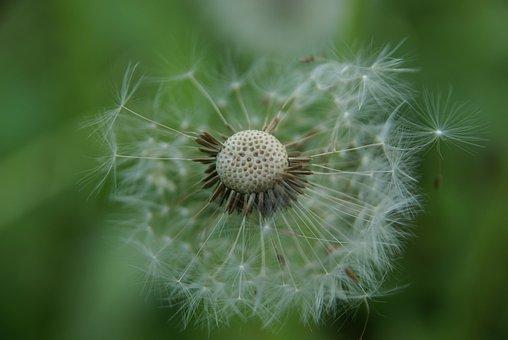 Dandelion, Nature, Plant, Seeds, Fluffy, Wind