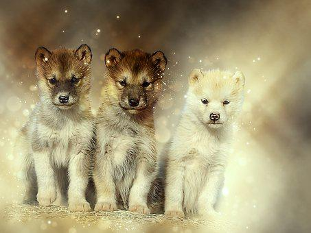 Dogs, Sled Dogs, Greenland, Expensive, Natural, Puppies