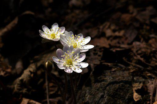 Nature, Plants, Flowers, Outdoors, Wildflower, Hepatica