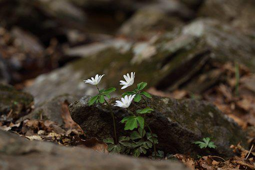 Wildflower, The Pheasant's Wind Flower, Valley, Spring