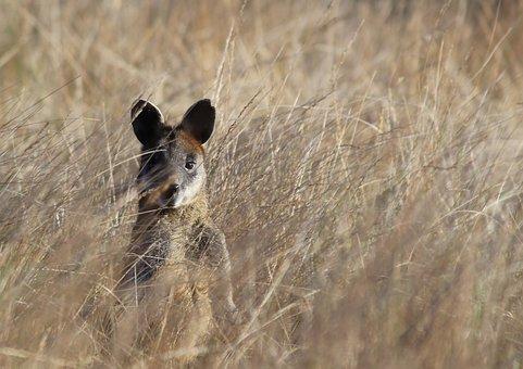 Wildlife, Animal, Nature, Wallaby, Grass, Australia
