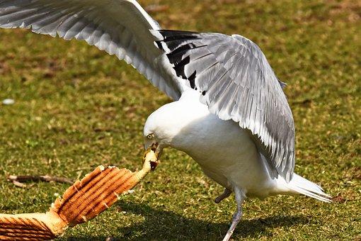 Seagull, Gull, Bird, Seabird, Animal, Wildlife, Wing