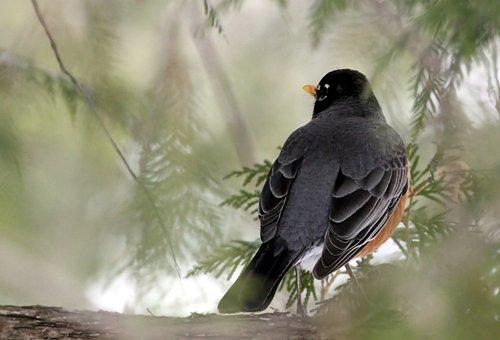 Bird, Wildlife, Nature, Wing, Feather, Robin, Hidden