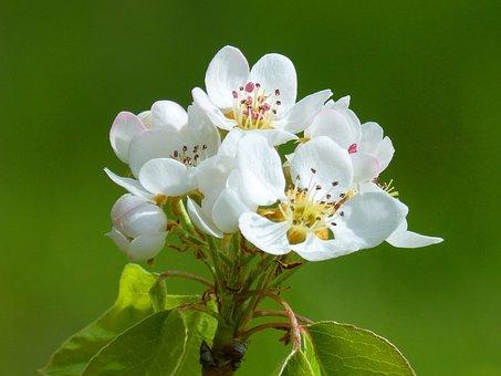 Fruit Tree, Flowering Tree, Apricot, Nature, Flower