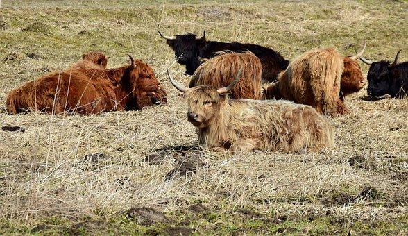 Beef, Highland Beef, Galloway, Shaggy, Break, Lying