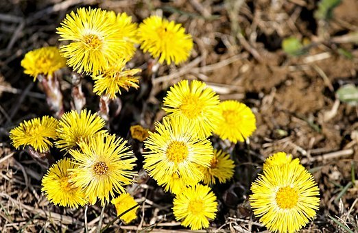 Tussilago Farfara, Medicinal Plant, Tussilago, Blossom