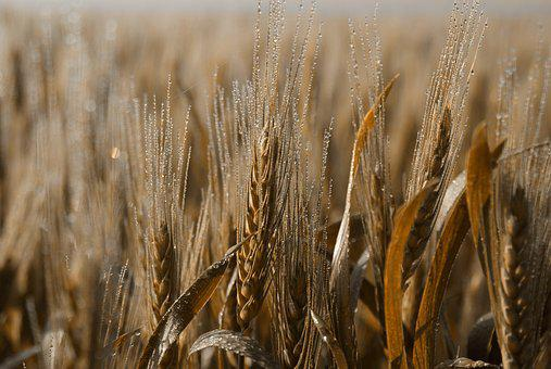 Wheat, Cereal, Straw, Bread, Crop