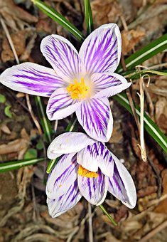 Flowers, Crocus, Spring Flowers, Early Bloomer