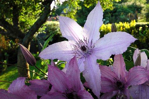 Flower, Petals, Dew, Drops, Rain, Flora, Botany, Summer
