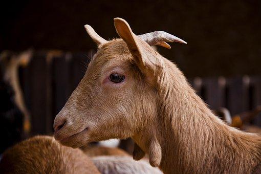 Animalia, Mammalia, Nature, Livestock, Nice, Goat, Farm