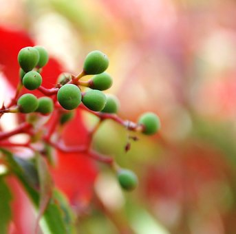 Nature, Plant, Berries, Green, Color, Red, Ivy, Autumn