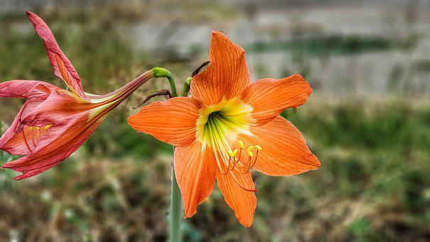 Family, Lily, Bright, Orange, Yellow, Nature, Flower
