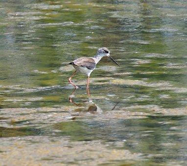 Wildlife, Bird, Shorebird, Marsh, Animal, Avian, Swamp