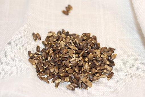 Milk Thistle, Seed