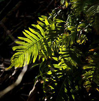 Fern, Leaf, Tree, Plant, Frond, Branch, Nature, Jungle