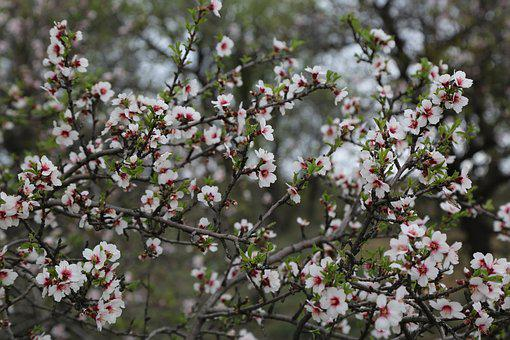 Flower, Tree, Almond Tree, Nature, Spring, Bud, Plant