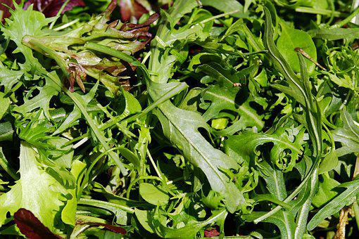 Salad, Cut Salad, Lollo-rosso, Oak Leaf-red, Rocket