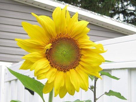 Flora, Flower, Nature, Summer, Leaf, Sunflower