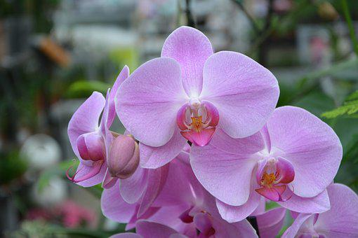 Flower, Plant, Pink Orchid, Color Pink, Their