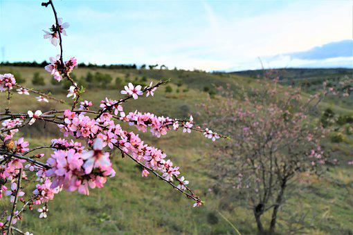 Tree, Flower, Nature, Blue Sky, Almond Branches