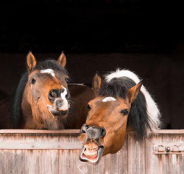 Mammal, Animal, Portrait, Cavalry, Mane, Flehmen, Horse