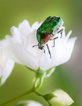Bronzovoi, Cetoniina, Nature, Beetle, Insect