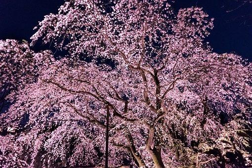 Wood, Natural, Plant, Seasonal, Branch, Cherry Blossoms