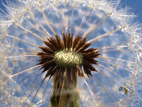 Dandelion, Nature, Flora, Summer, Seed, Fragility