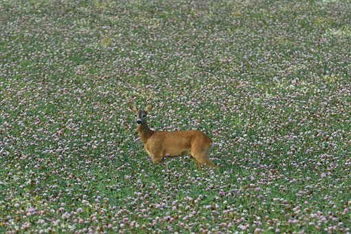 Venison, Roebuck, Lawn, Animals, Field, Nature, Mammal