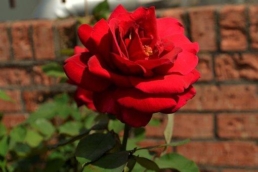 Red, Rose, Flower, Flora, Petal, Decoration, Blossom